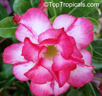 Adenium hybrid (double flower), Double Flower Desert Rose HybridClick to see full-size image