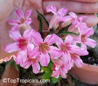 Adenium somalense, Desert RoseClick to see full-size image