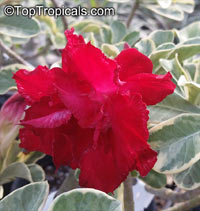 Adenium Double Red Variegated (variegated leaves), Grafted  Click to see full-size image