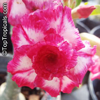 Adenium Cham Fah, Grafted  Click to see full-size image