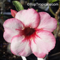Adenium Pettunear, Grafted  Click to see full-size image