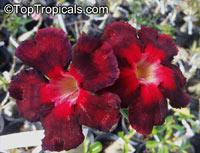 Adenium sp. black hybrids, Black Desert RoseClick to see full-size image