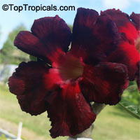 Adenium Black Asia, Grafted  Click to see full-size image