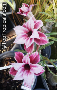 Adenium Moung Sakda Double, Grafted