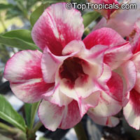 Adenium sp. yellow hybrids, Yellow Desert Rose  Click to see full-size image