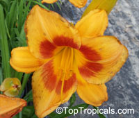 Hemerocallis sp., Daylily  Click to see full-size image