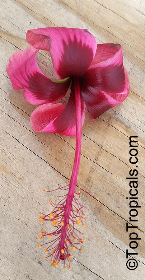 Hibiscus Sp Hibiscus Toptropicalscom