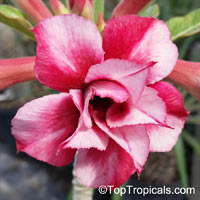 Adenium Kulabhin, Grafted  Click to see full-size image