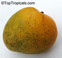 Mangifera indica, Mango  Click to see full-size image