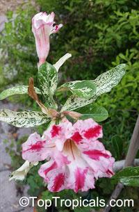 Adenium sp. variegatum, Variegated Desert Rose  Click to see full-size image