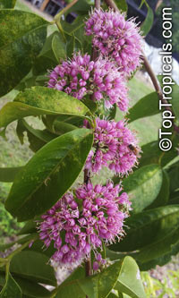 Melicope elleryana - seeds  Click to see full-size image