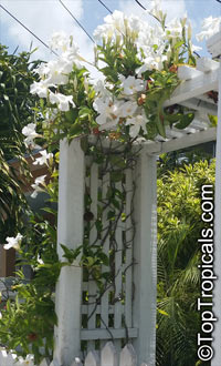 Mandevilla boliviensis, Mandevilla Summer Snow, White Dipladenia