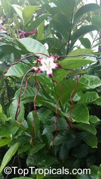 Strophanthus caudatus, Echites caudatus, Strophanthus dichotomus , Medusa Gorgona, Red Rapunzel, Twisted Cord Flower  Click to see full-size image