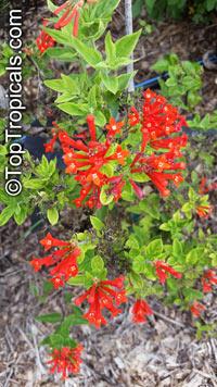 Bouvardia ternifolia, Scarlet Bourvardia, Trumpetilla, Firecracker Bush, Hummingbird Flower  Click to see full-size image