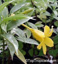 Allamanda schottii, Allamanda neriifolia , Dwarf Golden Trumpet  Click to see full-size image