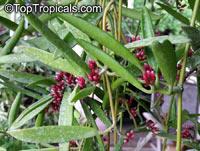 Dischidiopsis parasitica - Dildo Flower, Fuchsia BudClick to see full-size image