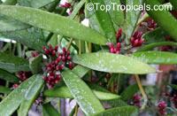 Dischidiopsis parasitica, Dischidiopsis philippinensis, Conchophyllum philippinense, Marsdenia parasitica, Fuchsia Bud, Dildo Flower  Click to see full-size image