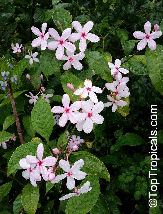 kopsia fruticosa, shrub vinca, pink kopsia, kopsia merah, pink, Beautiful flower