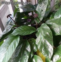 Dorstenia bahiensis, DorsteniaClick to see full-size image