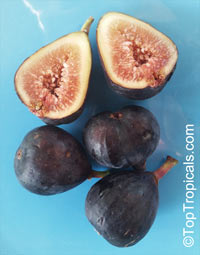 Ficus carica, Fig Tree, Brevo  Click to see full-size image