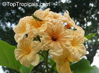 Cordia subcordata, Mareer, Manjak, Kerosene Tree, Snottygobbles, Glueberry, Kou Wood  Click to see full-size image
