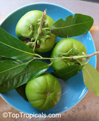 Diospyros digyna - Black Sapote seedling  Click to see full-size image