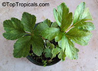 Angelica keiskei, Ashitaba, Tomorrows Leaf, KoidzumiClick to see full-size image