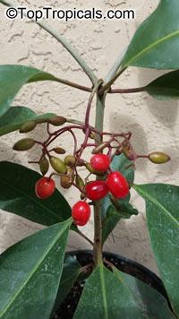 Neea psychotrioides, Neea, Saltwood, Pigeon Plum, Hoja de Salat  Click to see full-size image
