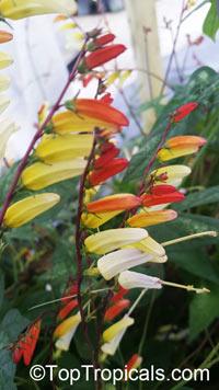 Ipomoea lobata, Ipomoea versicolor, Mina lobata, Quamoclit lobata, Firecracker vine, Spanish flag, Exotic Love  Click to see full-size image