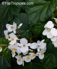 Begonia odorata var. alba, Sweet Begonia  Click to see full-size image