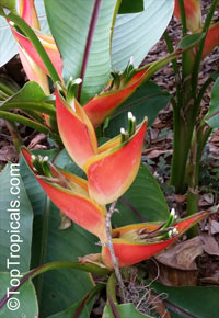 Heliconia stricta, Dwarf Jamaica Heliconia, Firebird  Click to see full-size image