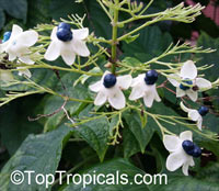Clerodendrum sp., Clerodendron