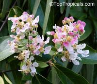 Banisteriopsis caapi, Banisteria caapi, Ayahuasca, Caapi, YajeClick to see full-size image