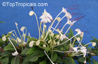 Clerodendrum incisum, Clerodendrum macrosiphon, Rotheca incisa, Rotheca incisafolia , Musical Note, Morning Kiss, Clerodendron, Witches TongueClick to see full-size image