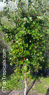 Ficus triangularis, Ficus natalensis subsp. leprieurii, Triangle Ficus, Triangle Leaf Fig Tree  Click to see full-size image