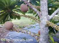 Pouteria sapota, Mamey, Mamey Sapote  Click to see full-size image