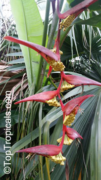 Heliconia collinsiana, Bihai collinsiana, Hanging Heliconia, Platanillo  Click to see full-size image