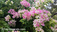 Bougainvillea sp., BougainvilleaClick to see full-size image