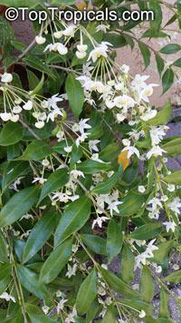 Hoya odorata - Fragrant Hoya  Click to see full-size image