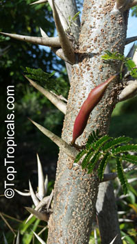 Vachellia cornigera, Acacia cornigera, Bullhorn AcaciaClick to see full-size image