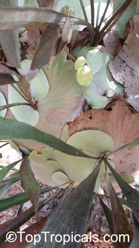 Platycerium sp., Staghorn  Click to see full-size image