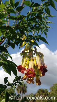 Pauldopia ghorta, Bignonia ghorta, Pauldopia  Click to see full-size image
