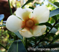 Clusia lanceolata, Porcelain Flower, Copey, Balsam Apple, Pitch Apple, Cerra cipapao apple