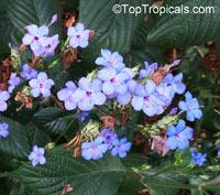 Eranthemum pulchellum, Eranthemum nervosum, Blue sage, Blue eranthemumClick to see full-size image