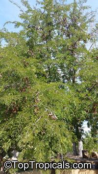 Tamarindus indica, Tamarind, SampalokClick to see full-size image