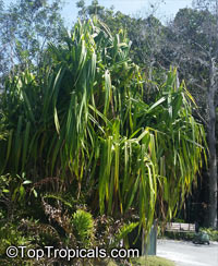 Pandanus sp., Screw Pine, Screw Palm  Click to see full-size image