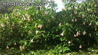 Brugmansia hybrid Pink, Angels Trumpet  Click to see full-size image