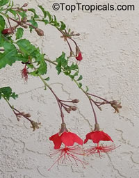 Hibiscus grandidieri, Red Chinese Lantern  Click to see full-size image