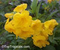 Tecoma stans, Bignonia stans, Yellow Elder, Yellow BellsClick to see full-size image