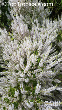 Iboza riparia, Tetradenia riparia, Musk Bush, Misty Plume Bush, Ginger Bush, Gemmerbos, Watersalie  Click to see full-size image